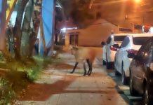 Lobo Guará é visto em Volta Redonda