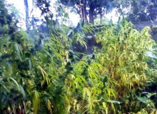 Plantação de maconha descoberta em Resende.