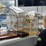 PRF prende homem com 130 aves silvestre no porta-malas de carro