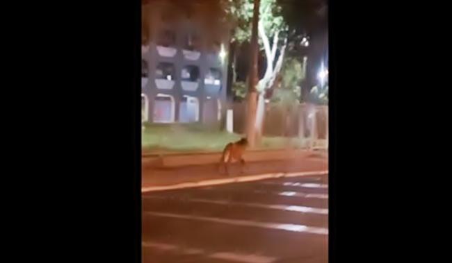 Lobo Guará visto em Volta Redonda