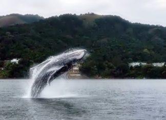 Baleia Jubarte é flagrada em salto no mar de Angra dos Reis