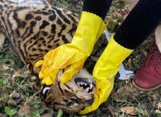 Jaguatirica é encontrada morta em estrada de Barra Manda e Bananal